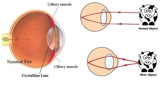 Ciliary Muscle and Lens