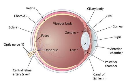 anatomy of the human eye: inside the human eye, Cephalic Vein